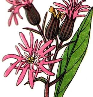 fleur_de_coucou